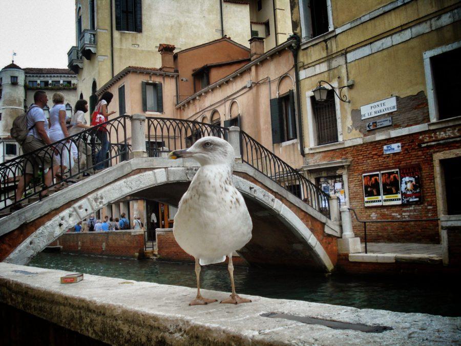 Pescăruș curios în Veneția