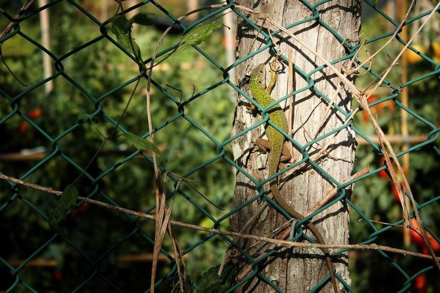 Șopârlă în grădinile din Varese Ligure, Italia