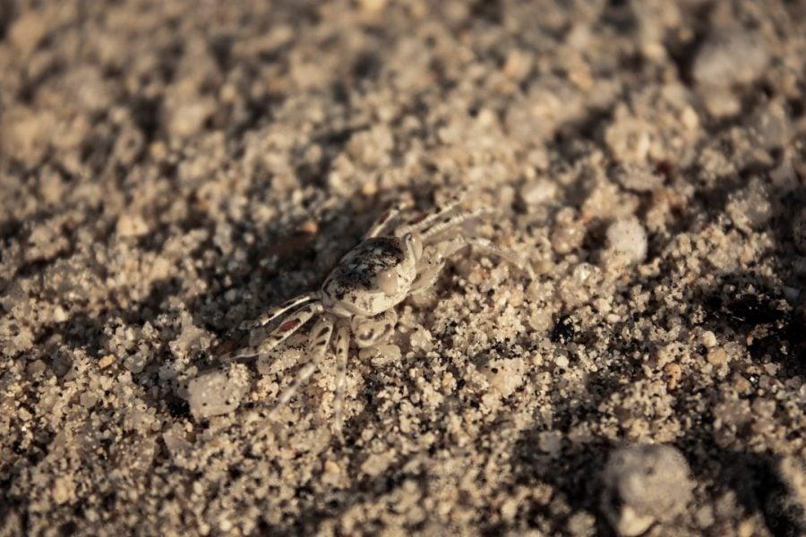 Crab pe nisip
