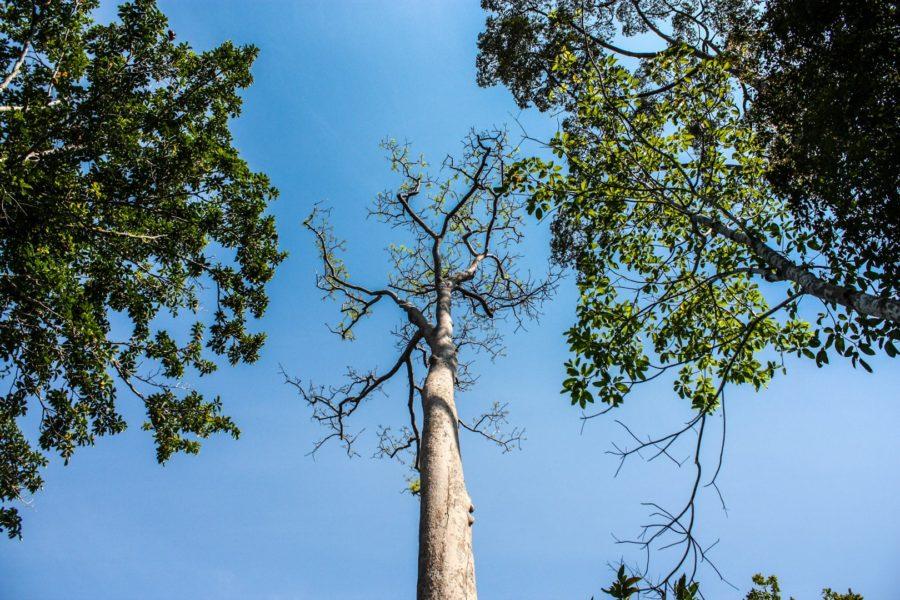 Copaci înalți în junglă, Langkawi, Malaezia