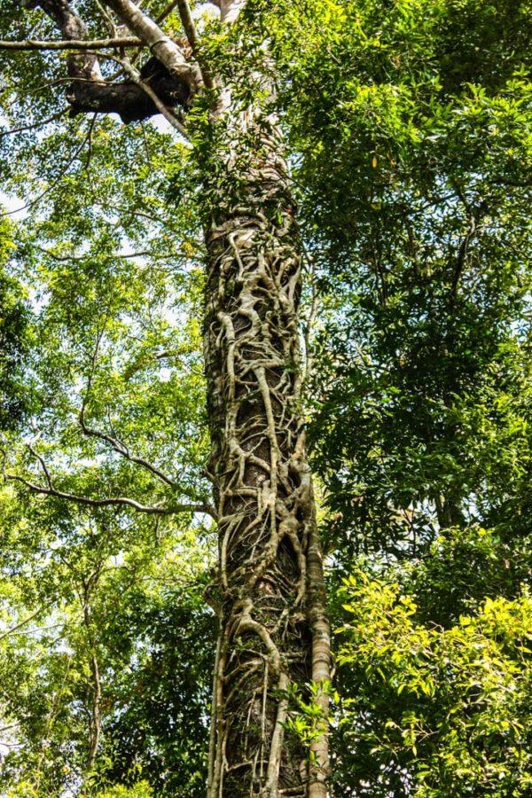 Liane pe copac în junglă, insulă tropicală, Malaezia