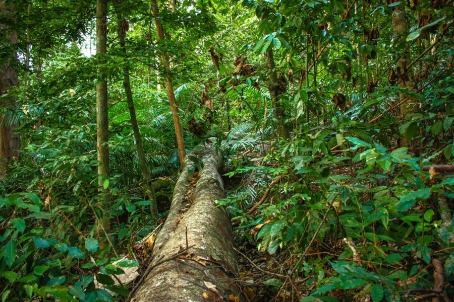 Copac căzut în junglă, Asia