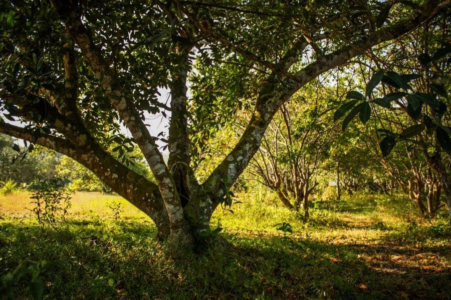 Copac bătrân de Jack-fruit