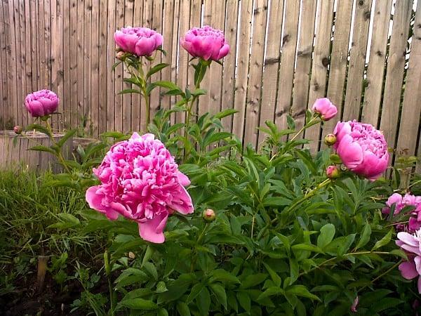Flori la tata în grădină