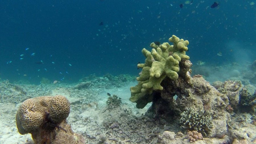 Coral verde snorkeling Papua