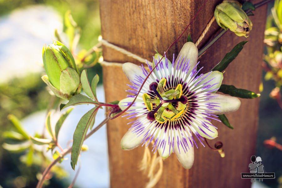 Floarea pasiunii înflorită