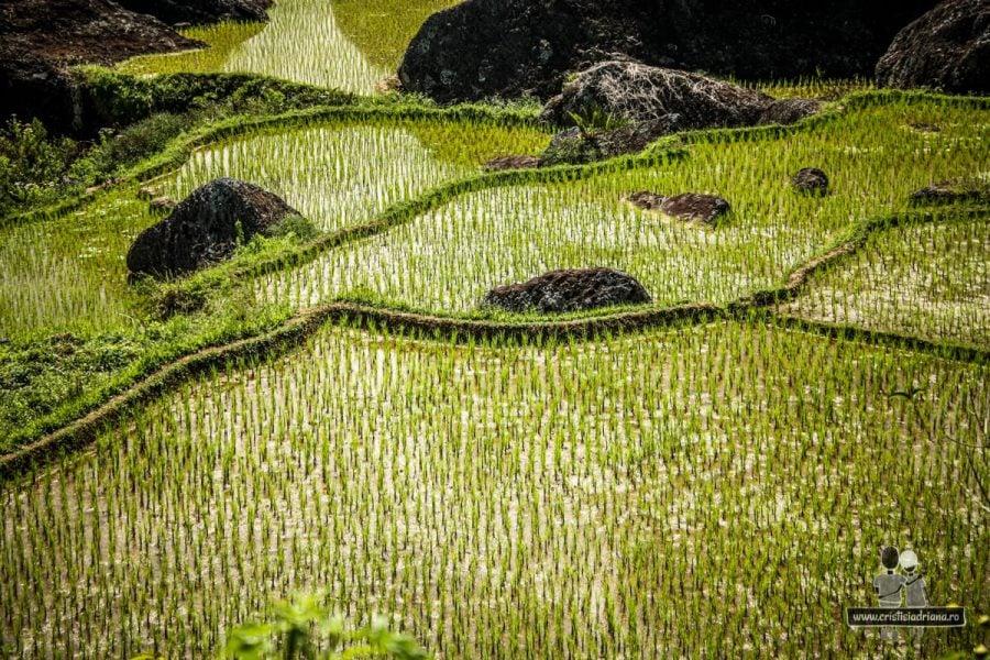 Terase verzi de orez