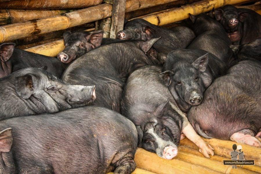 Grămadă de porci în Indonezia