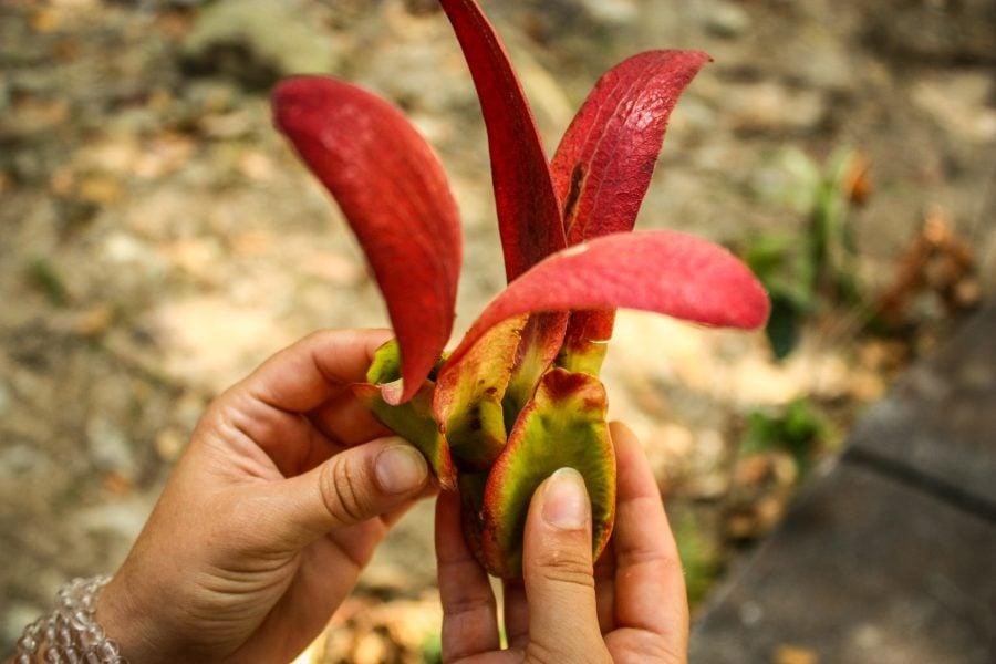 Semințe arbore tropical