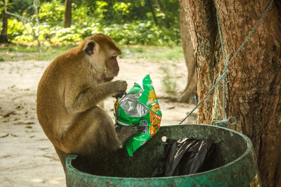 Maimuță mănâncă din gunoi