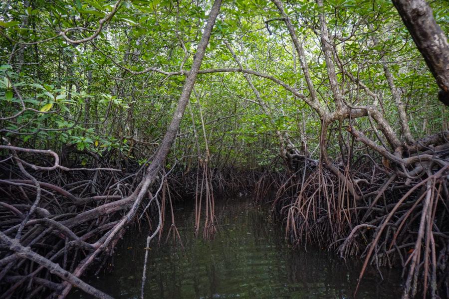 Mangroves in Langkawi